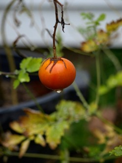 Homegrown organic tomato that tasted marvelous.
