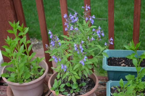 This sage is growing in my potted herb garden, and is in its flowering stage.