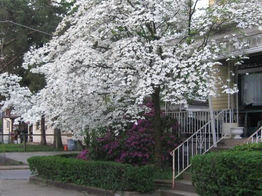 Dogwood Tree and Azalea Bush