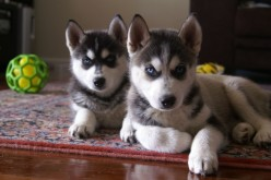 Things To Consider Before Getting A Siberian Husky