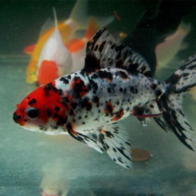 Variety of Common Goldfish