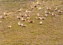 Deer in the Cairngorms