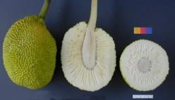What does breadfruit taste like?
