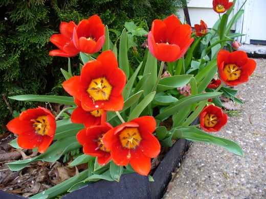 Bright Red and Yellow Tulips, also from my back yard.