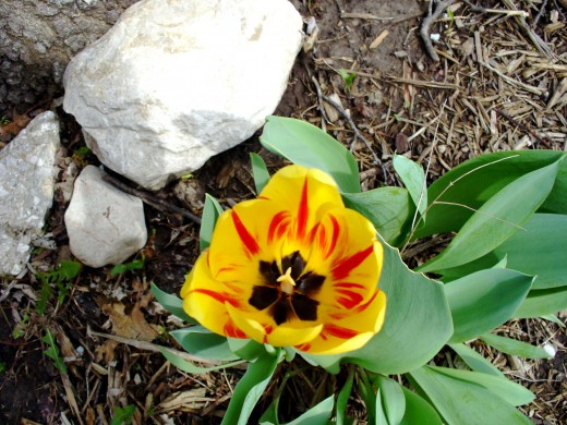 Photo 10 - Yellow  tulip with red and black.