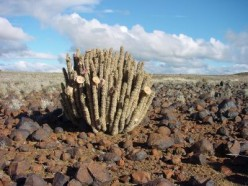 Cactus. The Edible, Medicinal, and Self Sustainable Plant.
