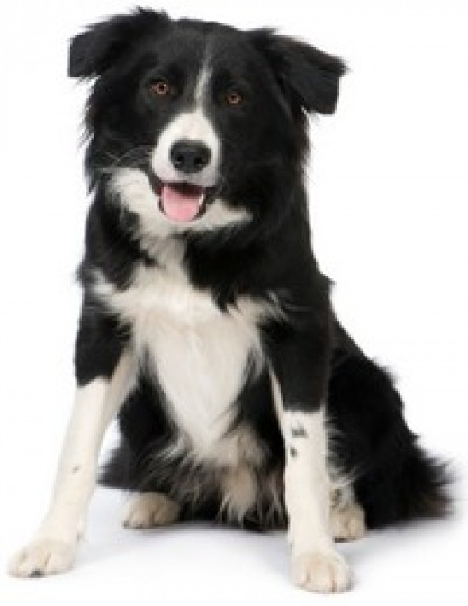 Border Collies are the smartest breed of dog