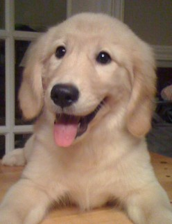What is the best name for a Golden Retriever puppy?