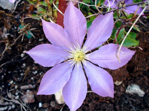 This purple clematis flower was my first attempt at growing them.  Isn't it a pretty purple?  I just love it.