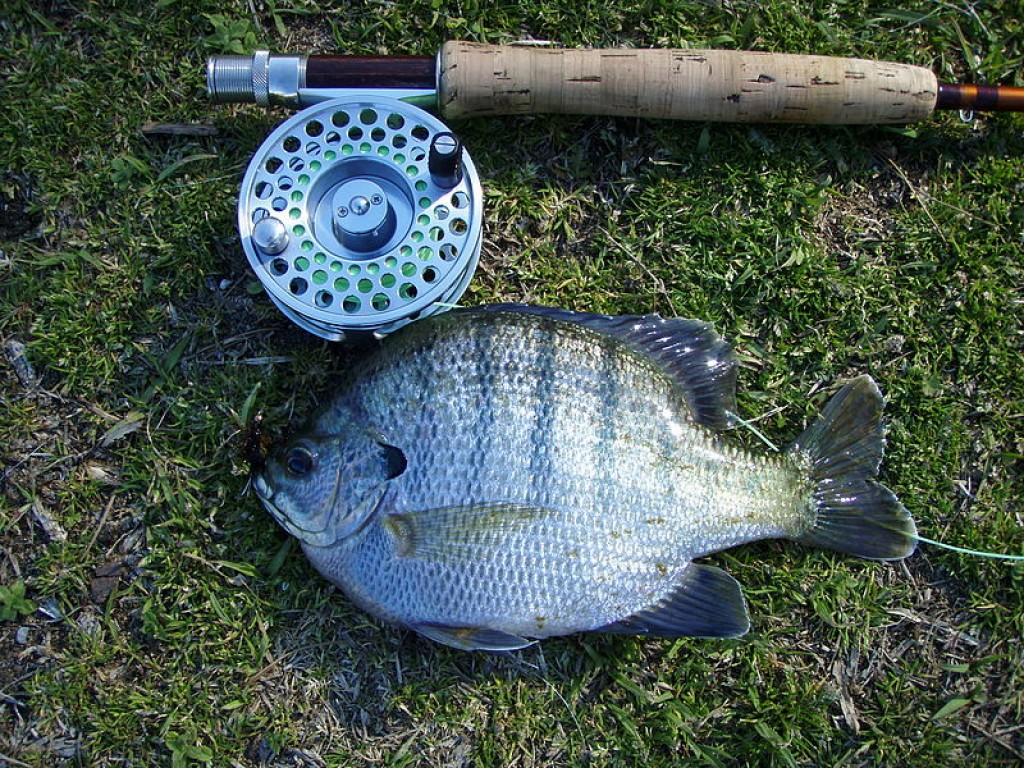 Lets go bluegill fishing hubpages for How much is a saltwater fishing license in florida