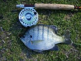 Nice Bluegill Caught In An alabama Farm Pond