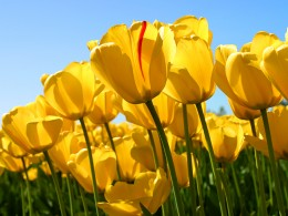 Beautiful tulips in various colors such as red, yellow and purple, are a true sign of spring.