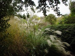 Fountain Grass - Adds Beauty to Your Gardens
