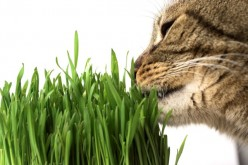 Why Cats eat Grass