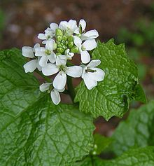 Garlic mustard is a tasty, tasty invasive.