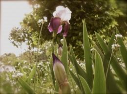 Iris, Lovely Iris!