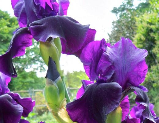 Sunshine Through Black Iris Petals