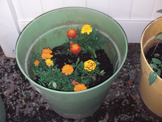 I feel like I am looking at the sunshine when I gaze upon a container of potted marigolds.