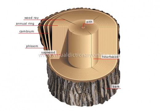 Cross section of a trunk to show cambium