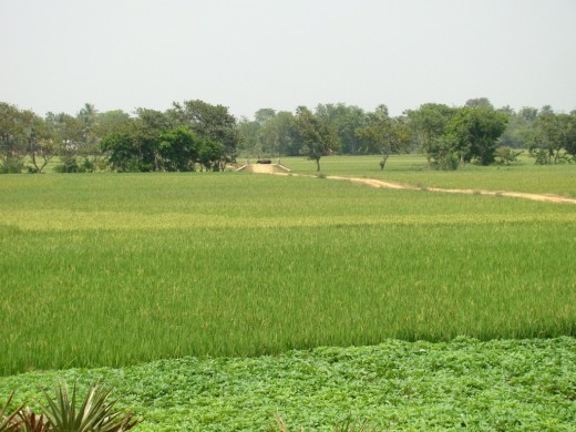 Lush green fields; Panchthupi