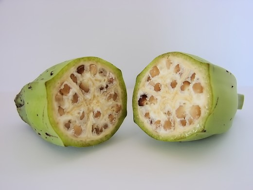 The less-than-appetizing inside of an unripe wild Musa balbisana fruit, with numerous hard seeds.