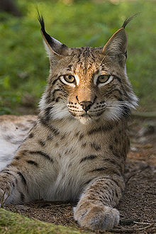 The beautiful Lynx, for whom the park is named.