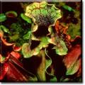 Plant a Carnivorous