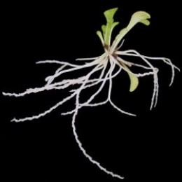 Genlisea or Corkscrew Plant, showing roots.