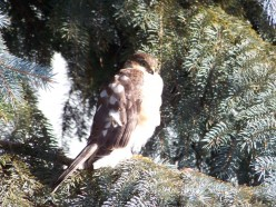 A Hawk Chasing a Dove; A Short Story