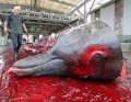 Animal hunting, animal cruelty, whale hunting - stop killing animals, protect animals,right whale population decline