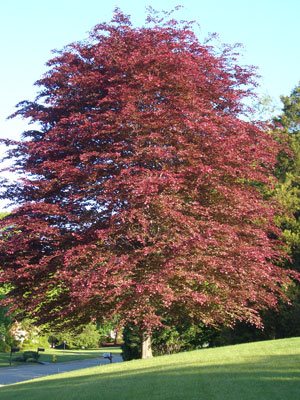 Tricolour or Copper Beech