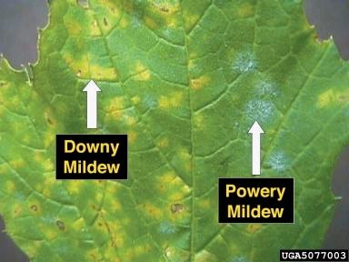 Down and powdery mildew on a grape leaf