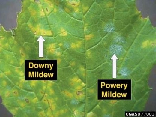 Down and powdery mildew on a grape leaf
