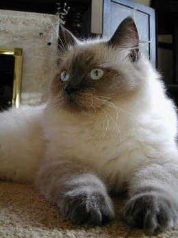 A blue point ragdoll cat, just like my Mum's best friend.