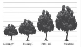 Relative tree sizes of an apple variety on a dwarfing rootstock.