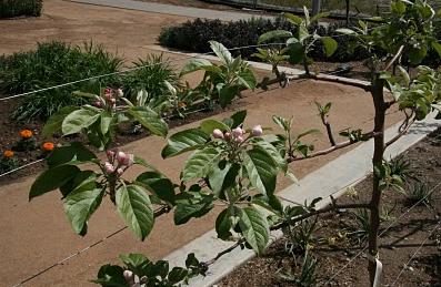 A wire tree trellis is used to help train the dwarf tree limbs to grow horizontally.