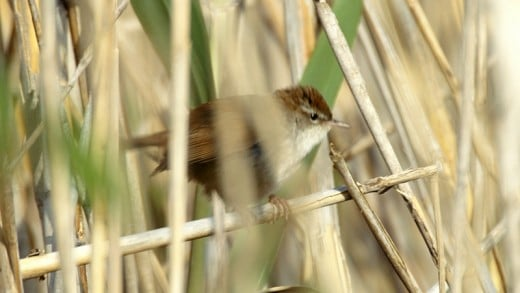The cetti's warbler loves to find insects to eat amongst the reed-beds