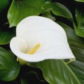 Growing Tips for Calla Lilies