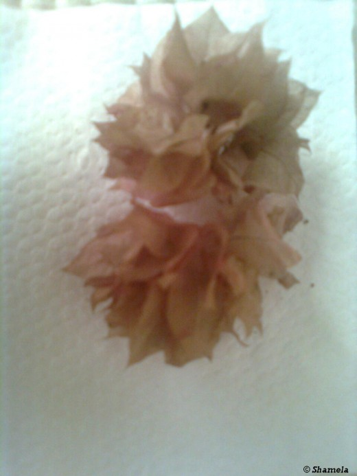 Two dried  flowers on a paper napkin. Flowers that have turned brown.