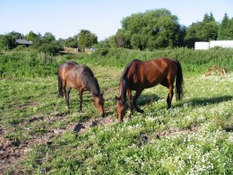 Two later additions to the equine family
