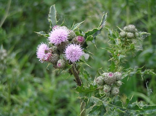 Canada thistle (creeping thistle)