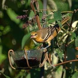 Use grape jelly or strawberry jam in a small cup to attract Orioles.