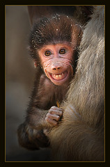 Baby Baboon by hvhe1 on Flickr