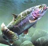 Rainbow Trout