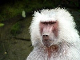 Hamadryas Baboon by Stavenn on Flickr