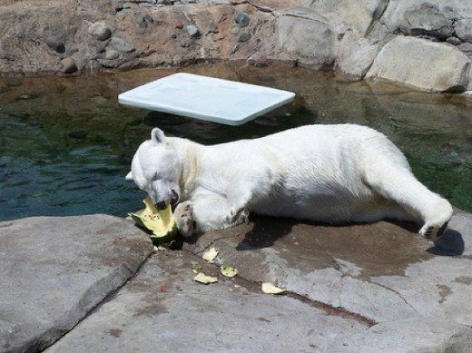 Polar bear eating watermelon