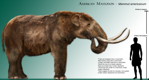 Another source of food for the first Georgians.  The American mastodon became extinct over 11,000 years ago.