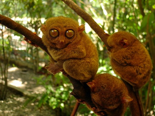 Philippine Tarsier in Bohol (Photo by KT Lim Majuro, Aug. 19, 2008-Wikimedia Commons)