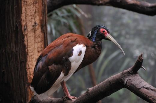 Madagascar Crested Ibis