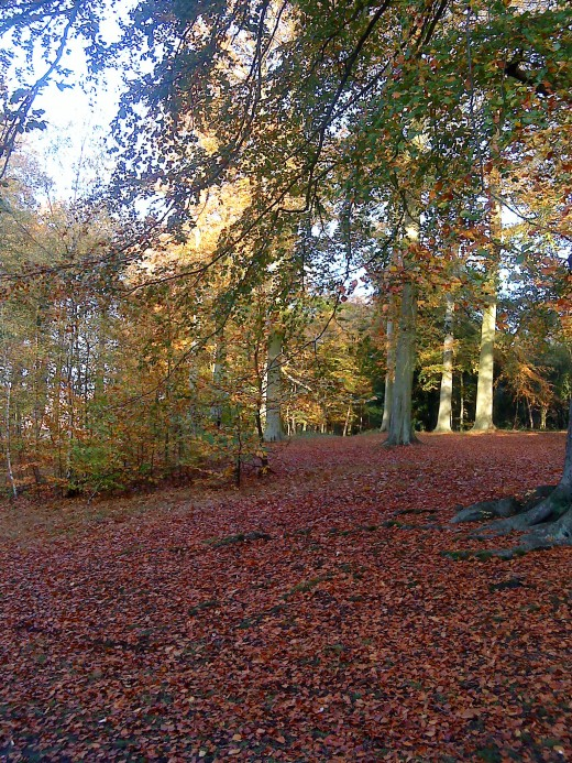 Beech trees stretch up to the light on Sparken Hill, where Sherwood Forest ends and town begins.